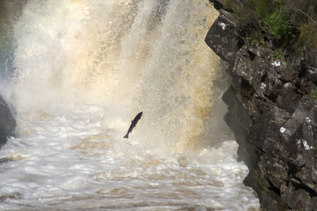 Salmon Jumping at Rogie Falls