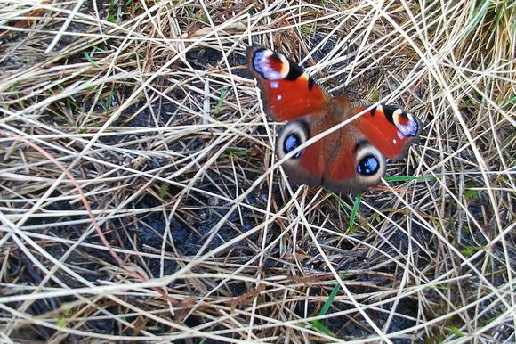 peacock butterfly ochil hills scotland