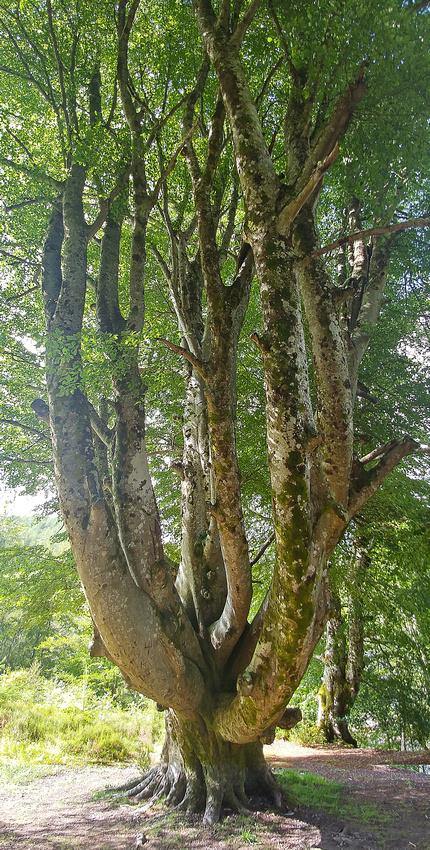 Big Tree at Rogie Falls