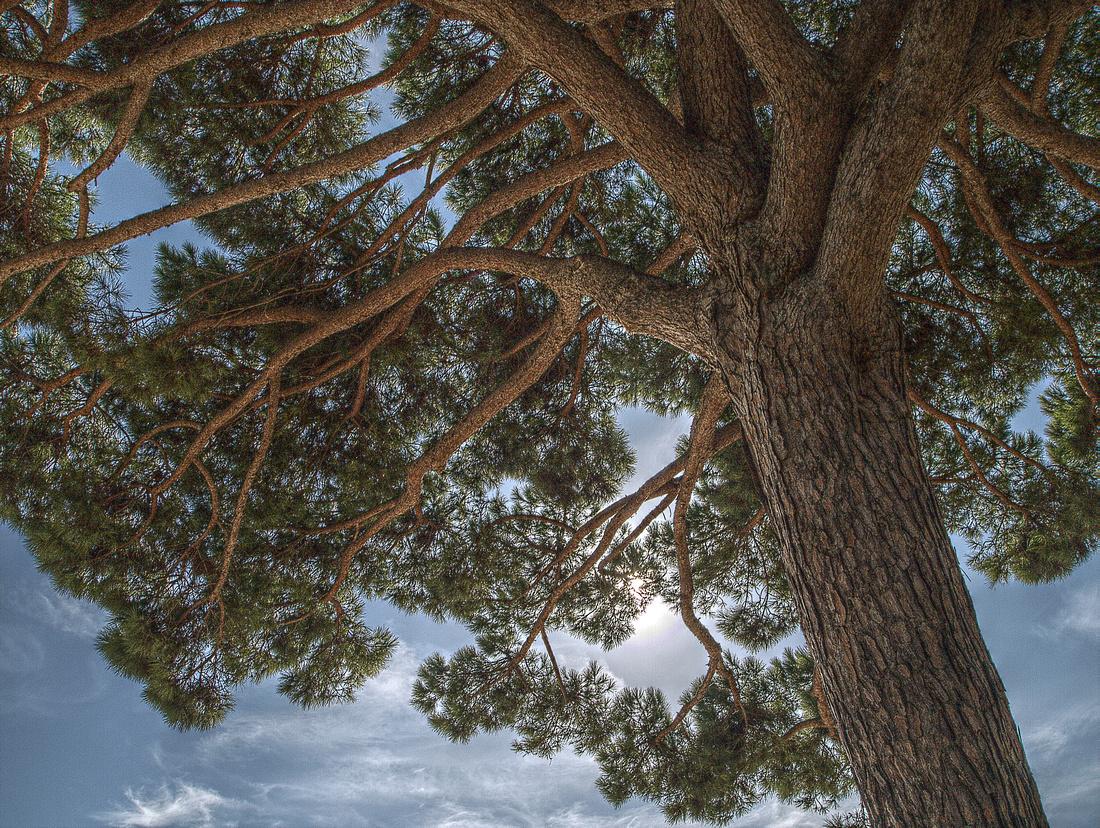 Palamós Pine